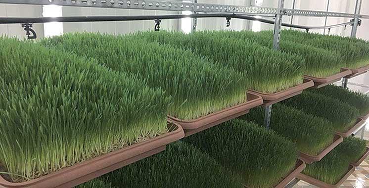 Génération Green 2020-2030  : Bientôt deux unités de production d'orge hydroponique à Dakhla