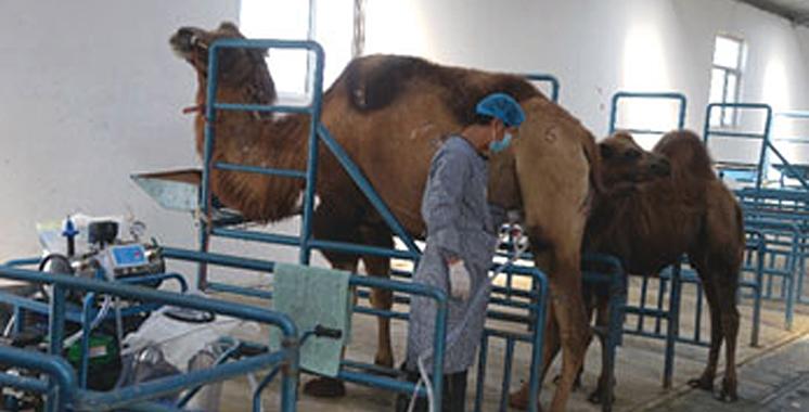 Al Jayl Al Akhdar : Dakhla modernise la commercialisation bédouine du lait de chamelle et de la charcuterie cameline